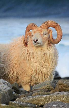 Preserving North Ronaldsay's unique sheep